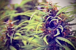 Wenatchee Marijuana